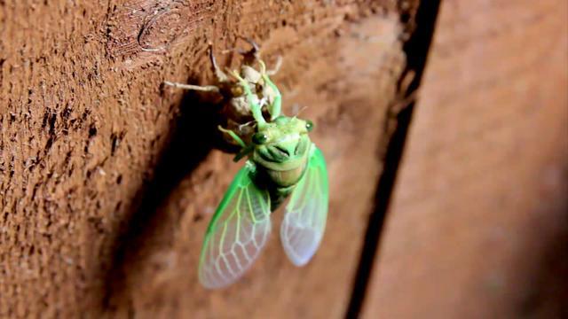 Cicada Molting - Northeastern U.S.A