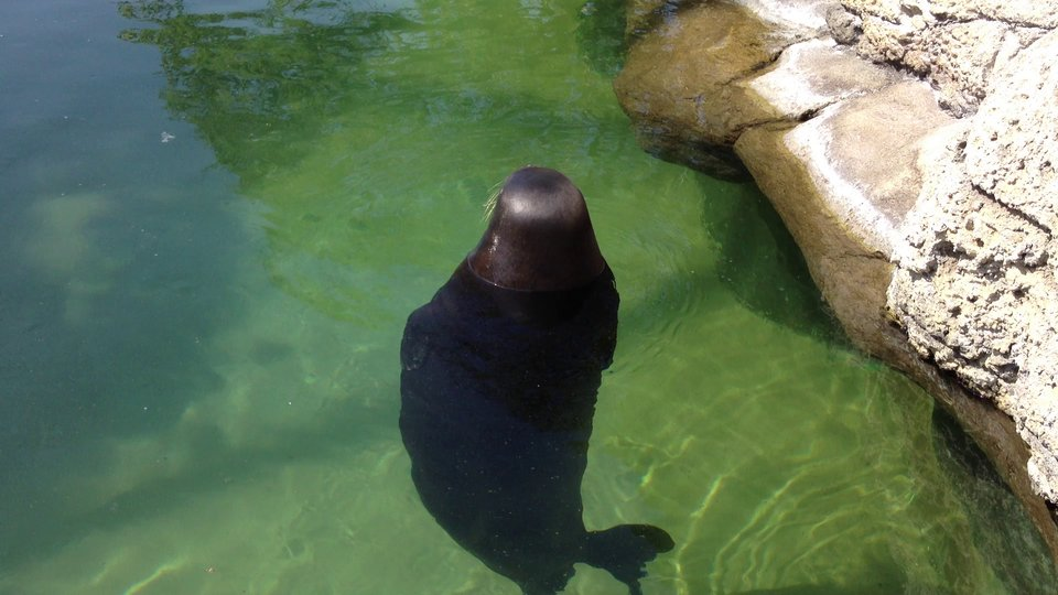 Vimeo – Silly, spinning Hawaiian Monk Seal