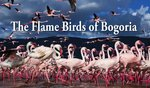 The Flame Birds of Bogoria - version 2